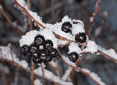 Berries of aronia in winter