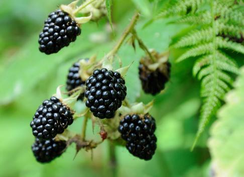 big berries of blackberry on green background