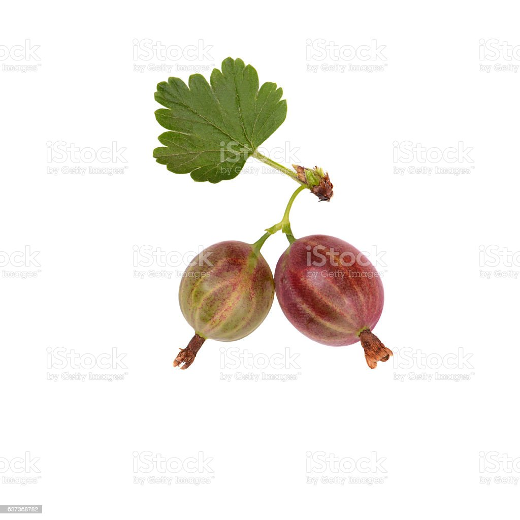 Berries of gooseberry iasolated on a white background stock photo