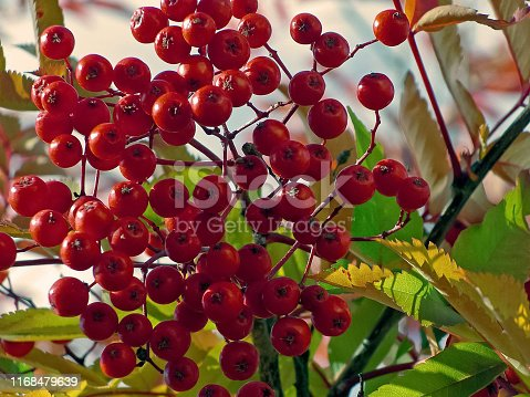 istock Berries of mountain ash on the bush. Tundra berries. 1168479639