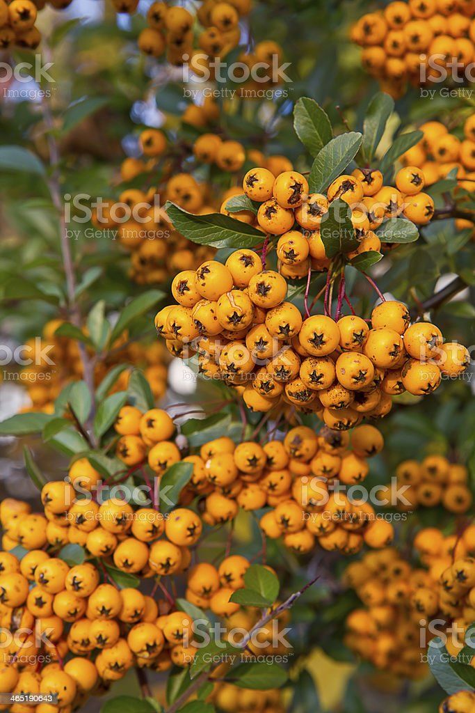 Baies de Pyracantha coccinea (Buisson ardent) - Photo