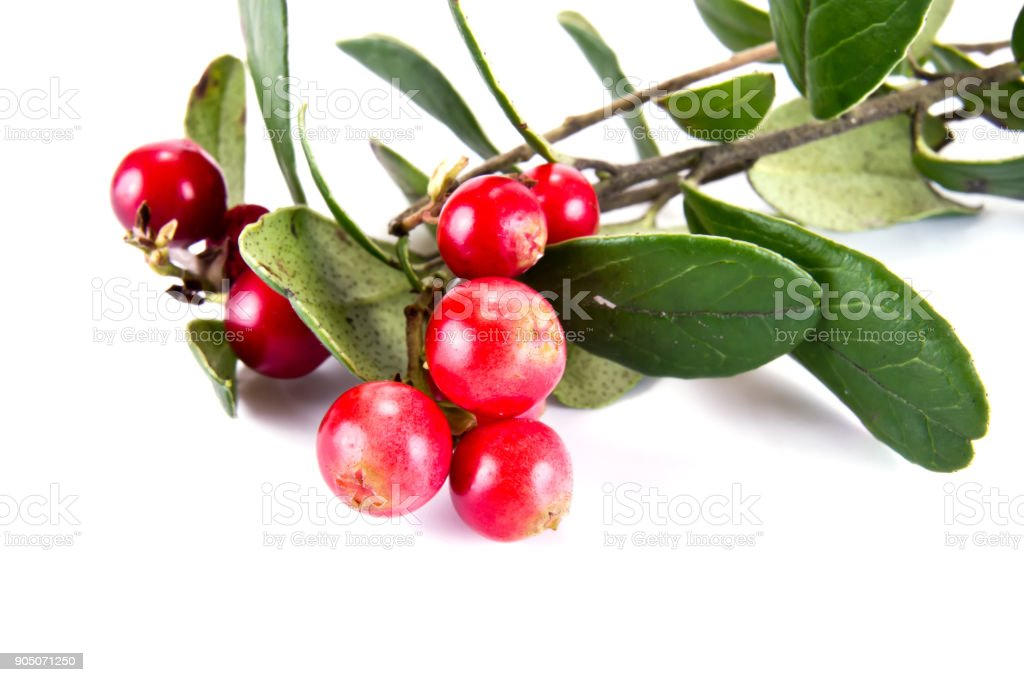Berries of ripe cowberry stock photo