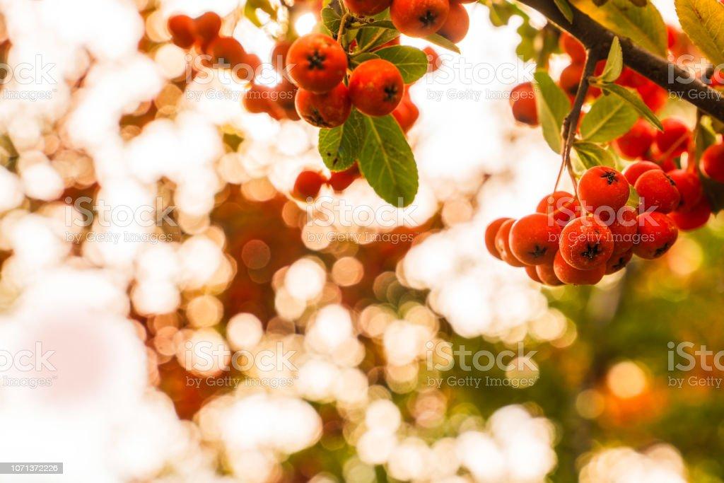 Baies d'écarlate buisson ardent (pyracantha coccinea) en automne lumière abstraite saison et flou artistique en arrière-plan - Photo
