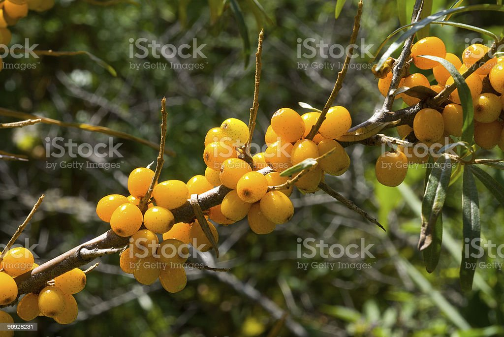 Berries of sea-buckthorn on branch royalty-free stock photo