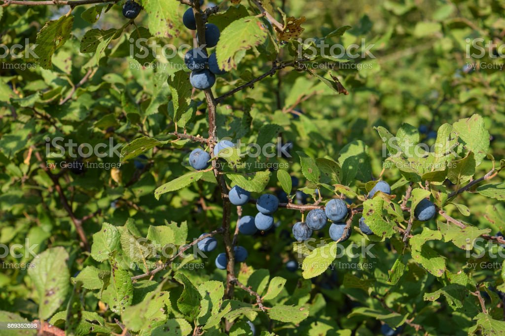 Berries of wild plum - a sloe stock photo