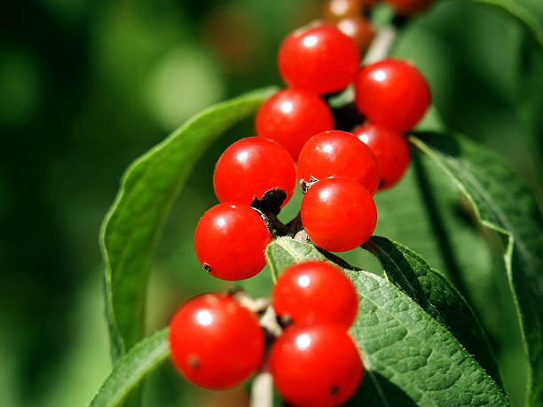 Berries on a Branch stock photo