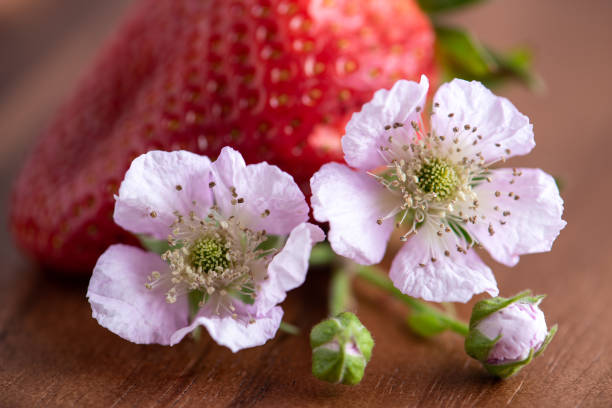 Berry Blossom with Strawberry stock photo