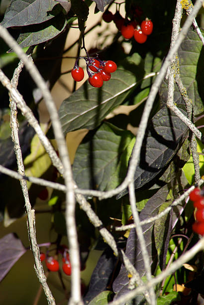 berry clusters - mikefahl stock pictures, royalty-free photos & images