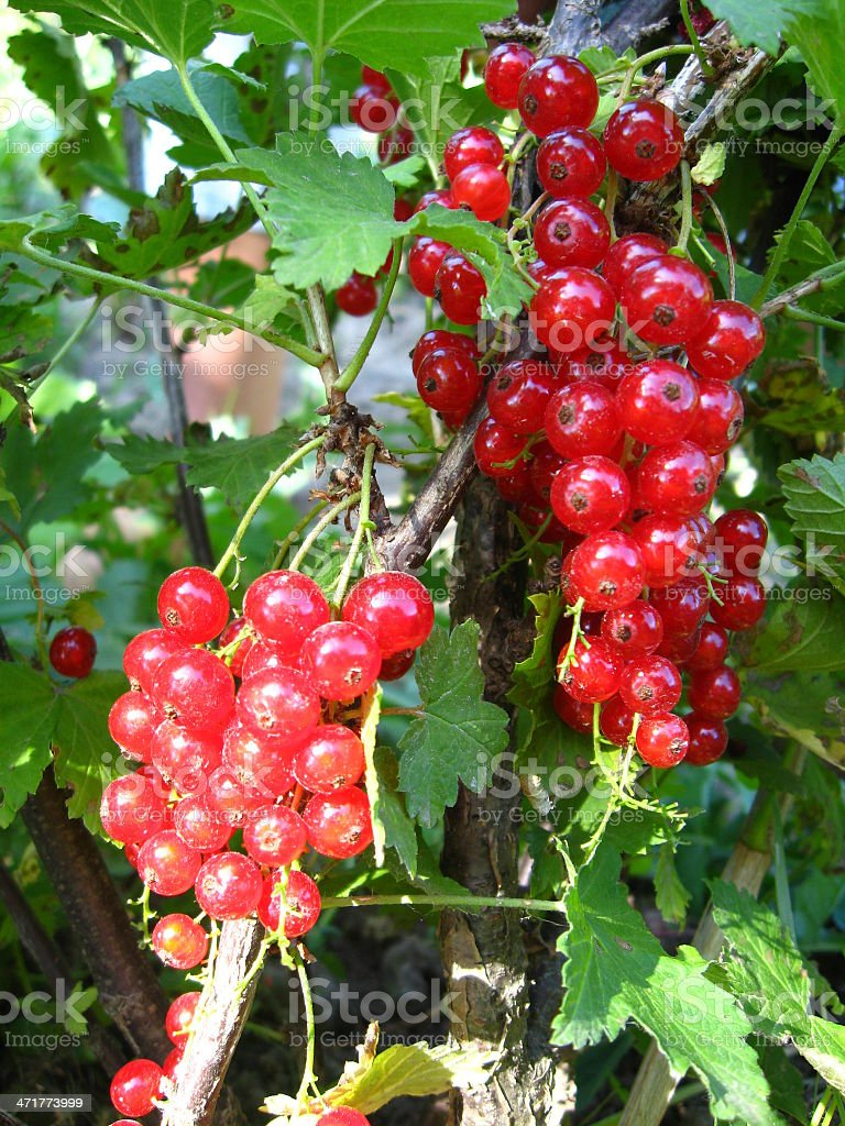 Berry of a red currant on the bush royalty-free stock photo