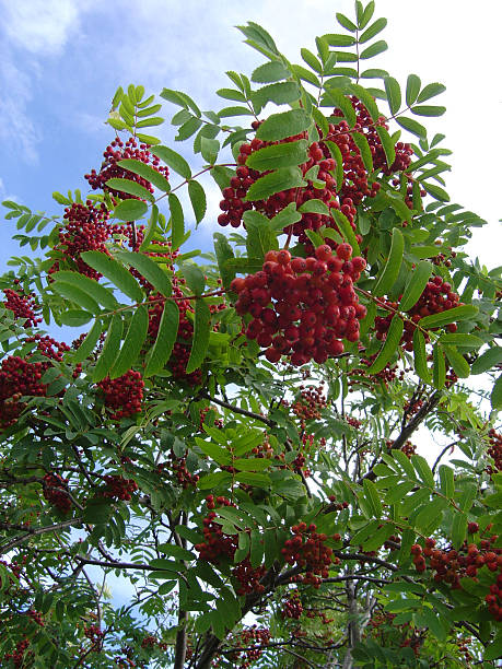 Berry tree stock photo
