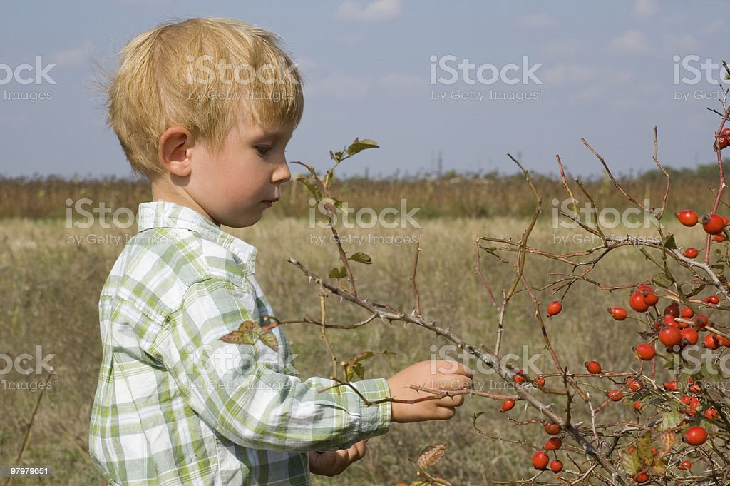 berry-picking royalty-free stock photo