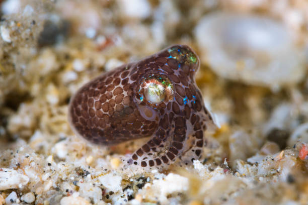 Berry's Bobtail Squid Berry's Bobtail Squid (Euprymna berryi), also called hummingbird bobtail squid, (7 mm in size), over white sand. Horizontal, side image. It's probably a juvenile and appears to be covered in some sort of mucus.  Underwater macro photography taken in Lembeh, Manado - Indonesia. bobtail squid stock pictures, royalty-free photos & images