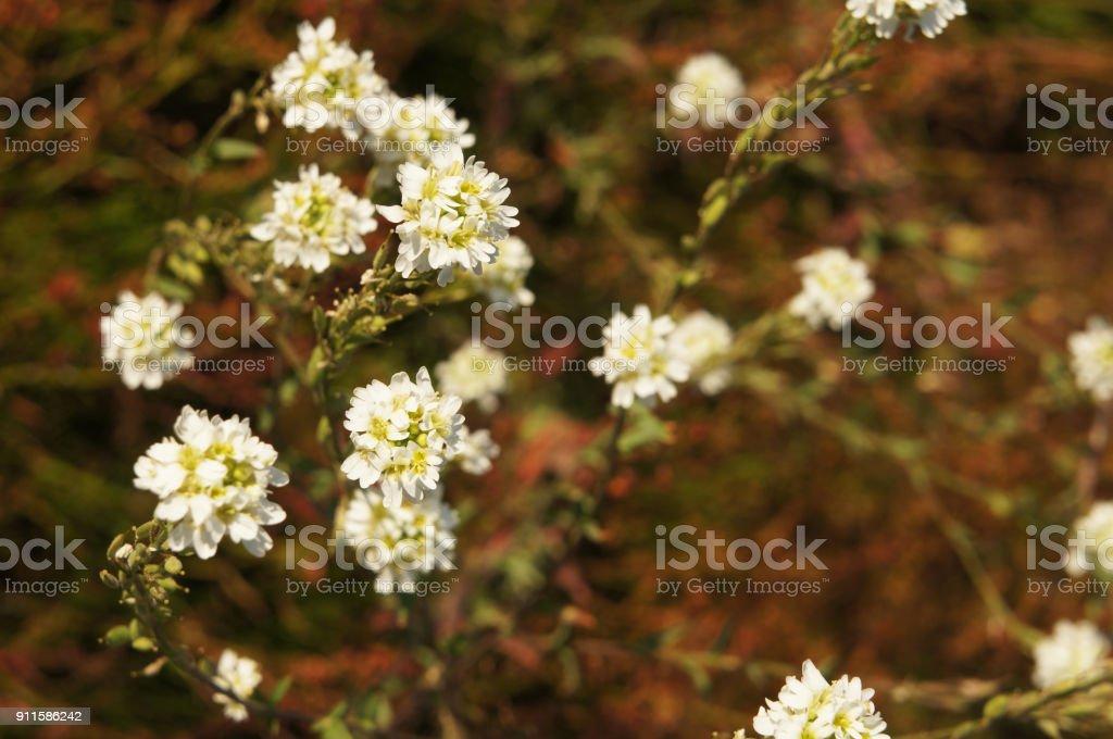 Berteroa  incana white flowers stock photo
