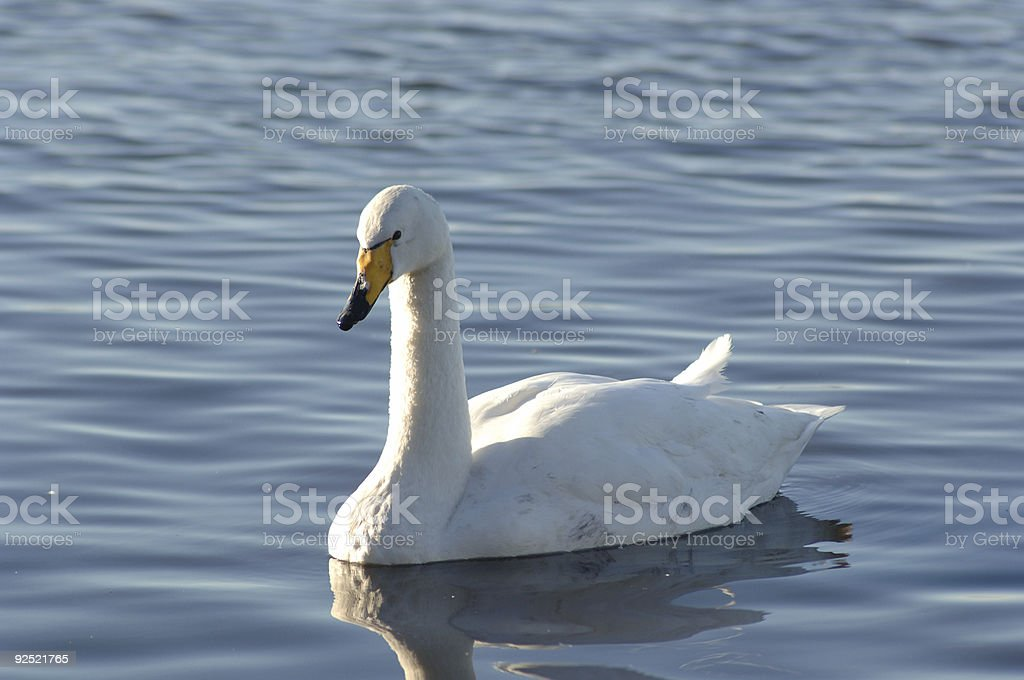 Berwick Swan stock photo