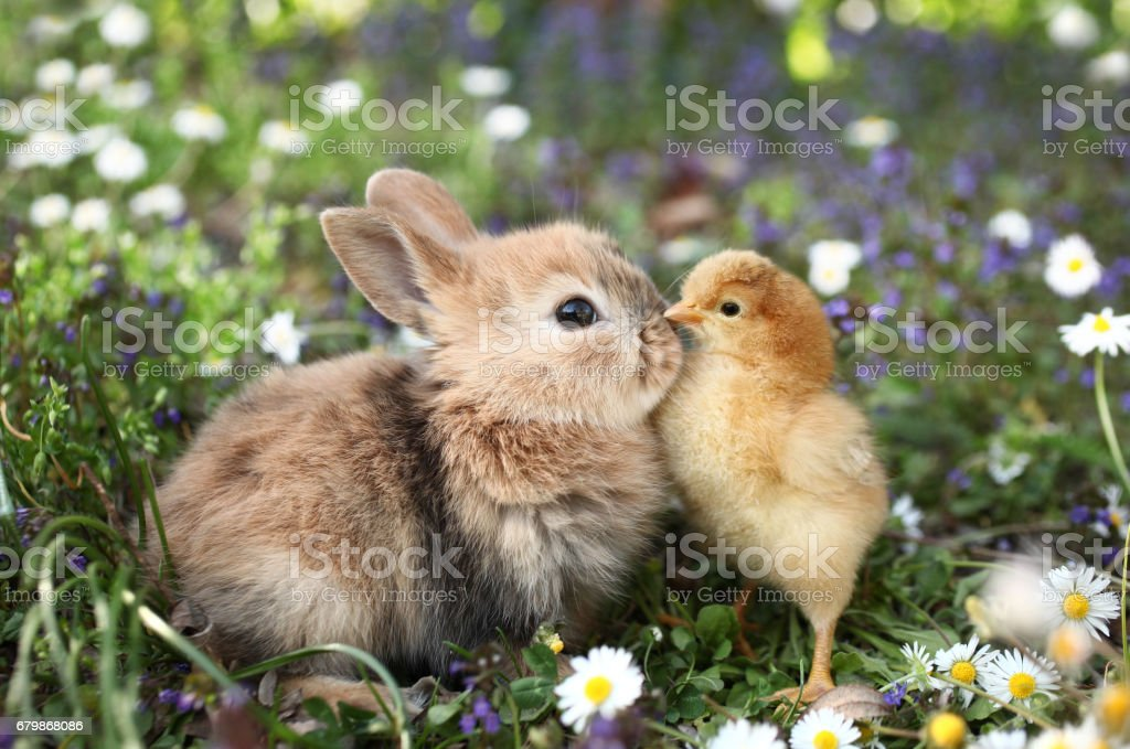 Best friends bunny rabbit and chick are kissing royalty-free stock photo