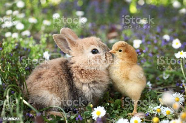 Best friends bunny rabbit and chick are kissing picture id679868086?b=1&k=6&m=679868086&s=612x612&h=fuctiqzuabh4ywtt7fkscah6gg6nyovgehqsm90bbqs=
