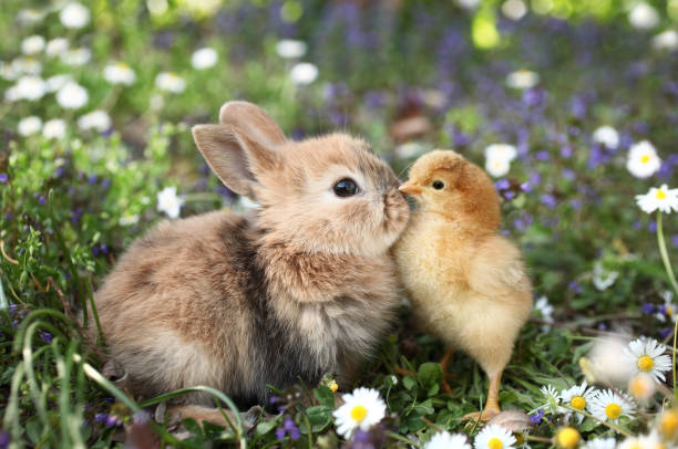 Best friends bunny rabbit and chick are kissing stock photo