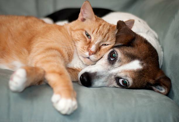 migliori amici - gatto domestico foto e immagini stock