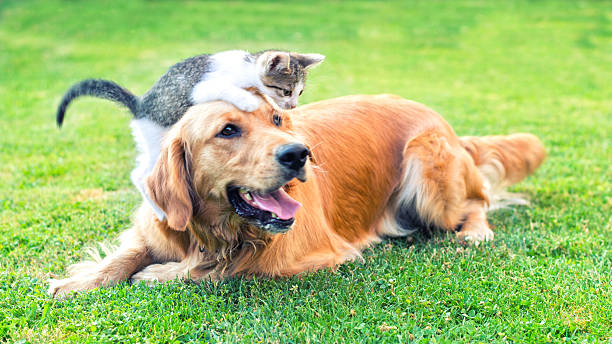 Best friends Domestic cat and golden retriever in grass at home. Best friends. domestic animals stock pictures, royalty-free photos & images
