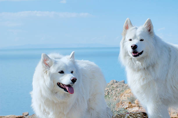 Best of Show Alaskan Malamute Dogs With Blue Water Background stock photo