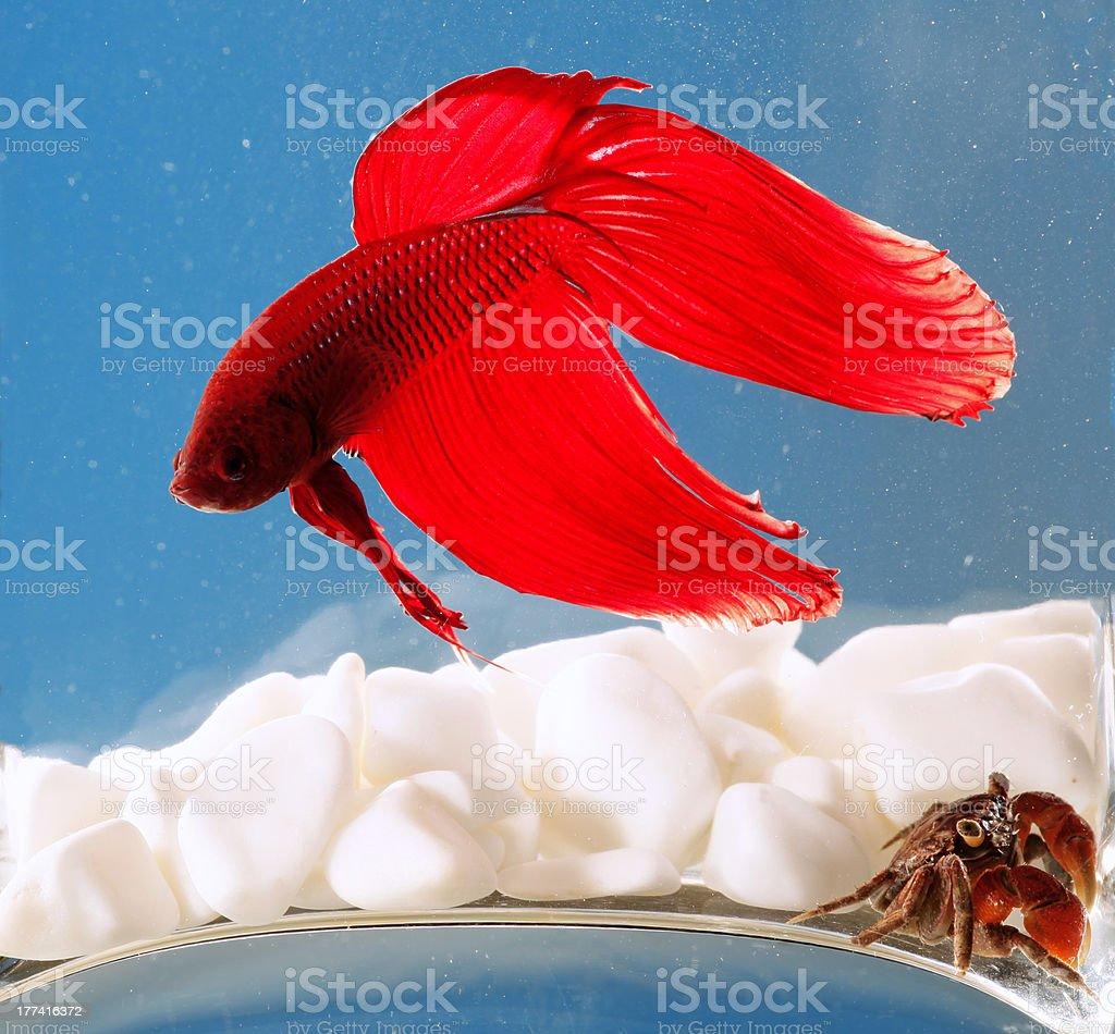 beta fish and crab royalty-free stock photo