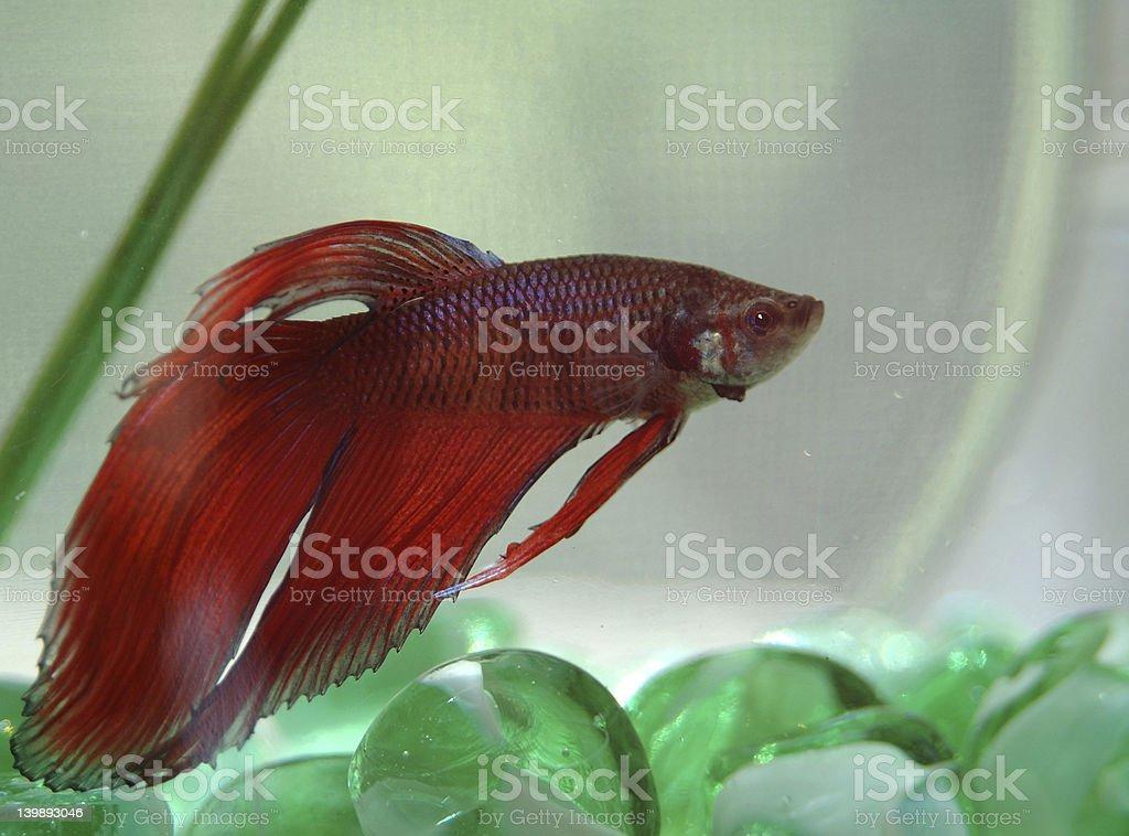 Beta fish royalty-free stock photo