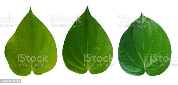 Photo of Betel leaves, Green  leaf isolated on white background with clipping path