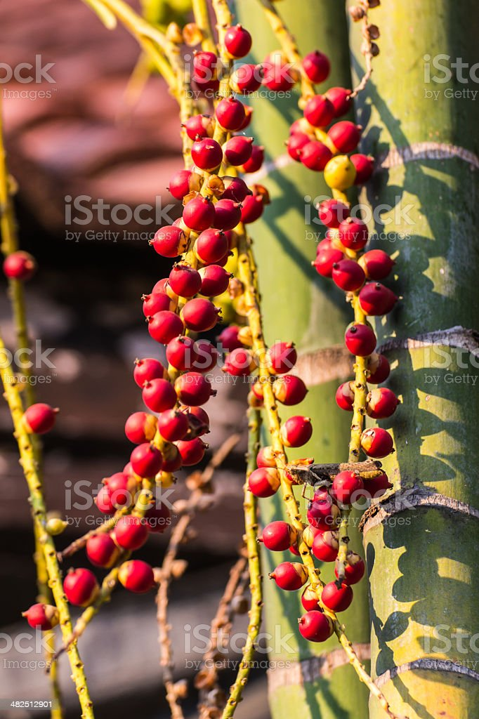 Betel Palm Fruits stock photo