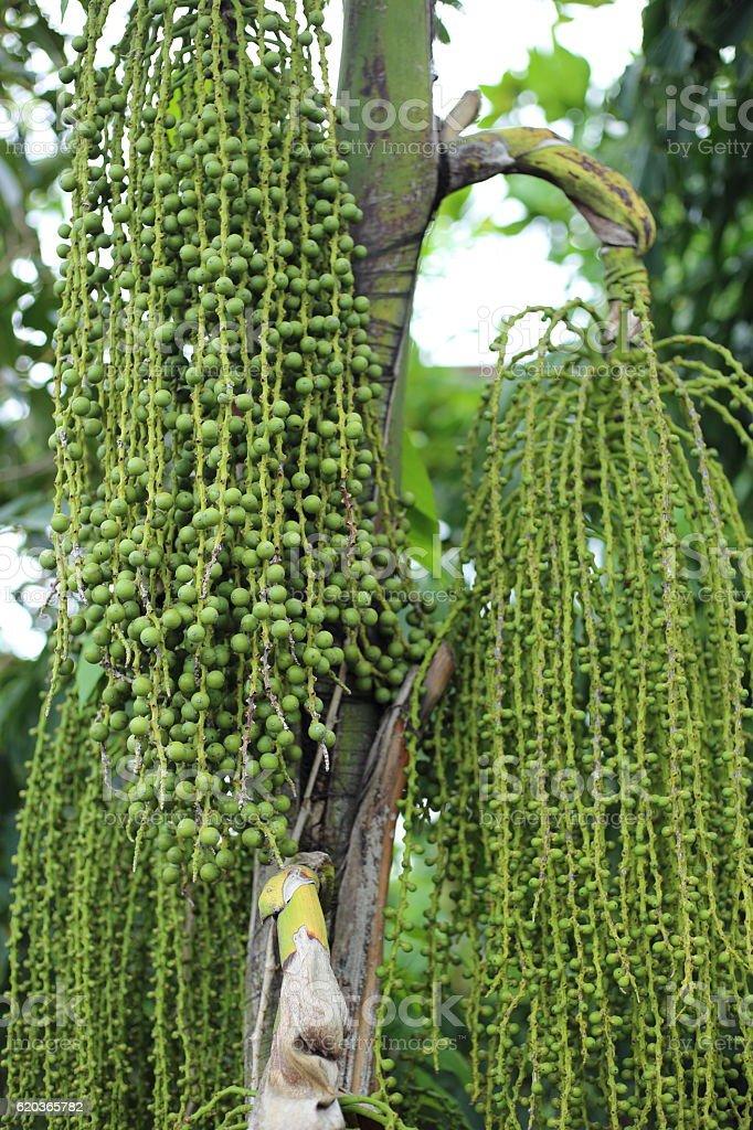 Betel palm or Betel nut foto de stock royalty-free