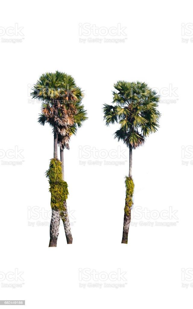 Betel palm tree isolated on white. royalty-free stock photo