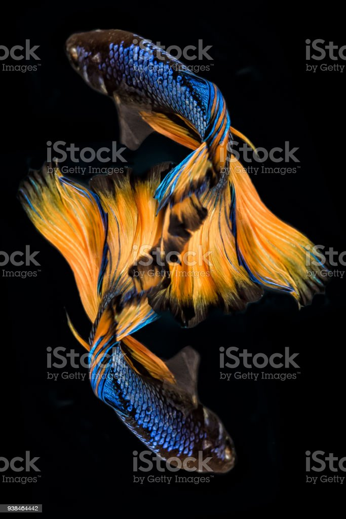 Betta Fish Blue And Yellow Isolated On Black The Colourful Also ...