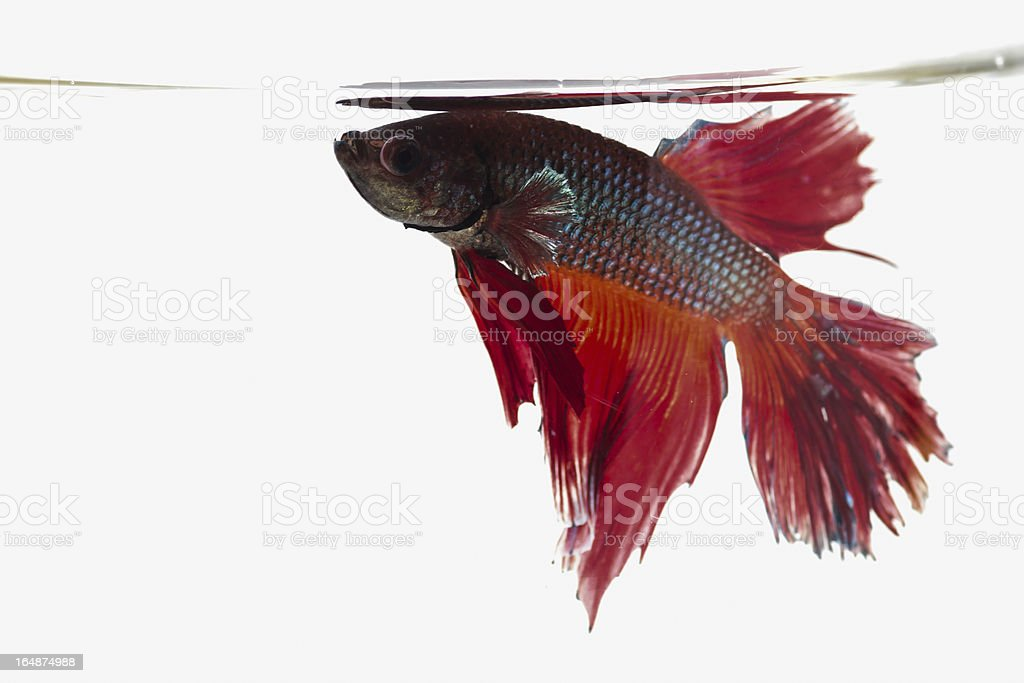 betta fish in action royalty-free stock photo