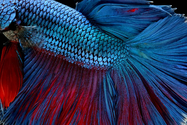 betta fish isolated on black background stock photo