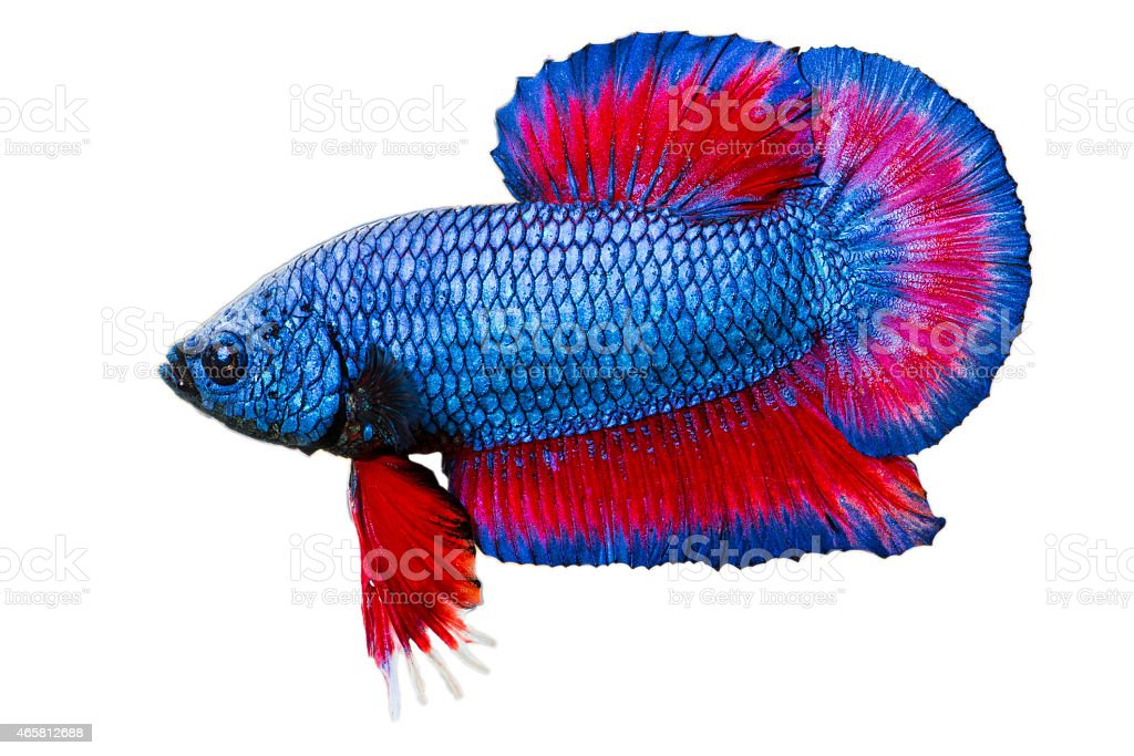 Betta fish isolated stock photo