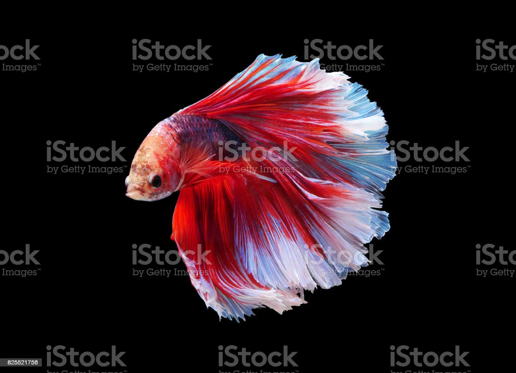 Betta Fish Moving Moment Of Siamese Fighting Fish On Black Isolated