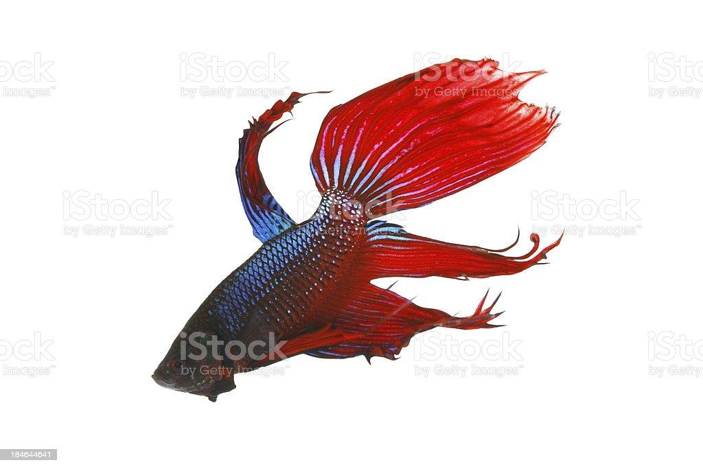 Betta fish on white background royalty-free stock photo