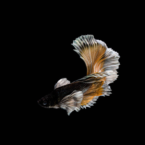 betta fish, siamese fighting , betta splendens isolated on black background - dazzlingly stock pictures, royalty-free photos & images