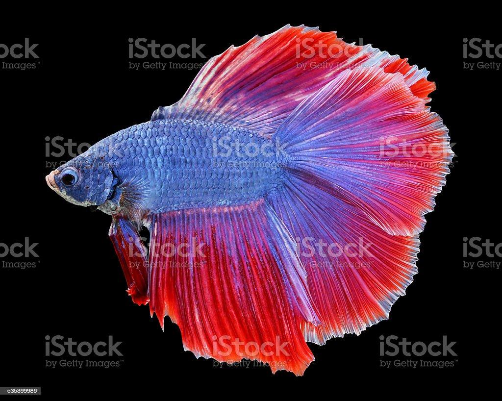 Betta poisson combattant siamois poisson betta splendens for Poisson combattant prix
