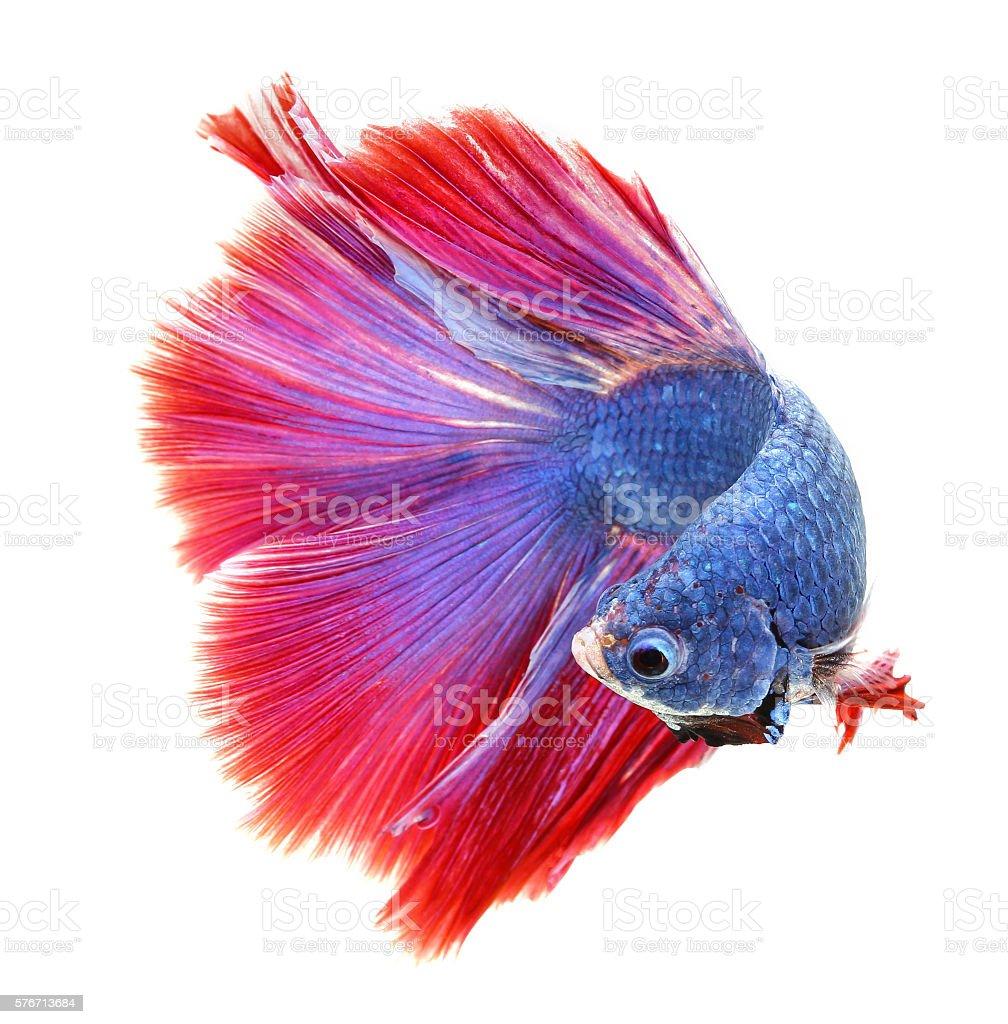 Betta Fish Siamese Fighting Fish Betta Splendens Fullmoon Bet Stock ...