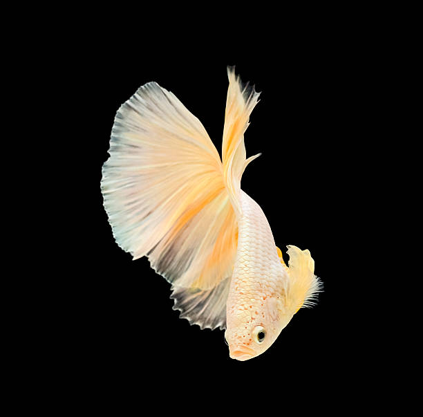 Betta fish, siamese fighting fish, betta splendens (Halfmoon bet stock photo