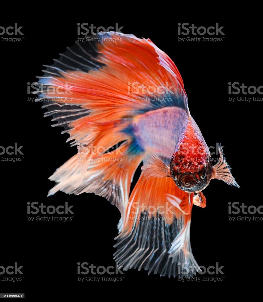 Betta Fish Siamese Fighting Fish Betta Splendens Halfmoon Bet Stock ...