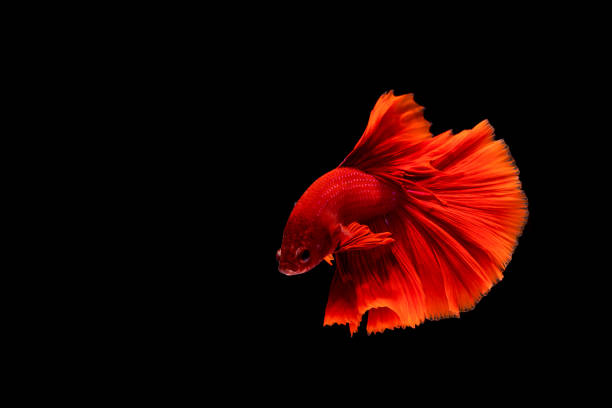 betta fish, siamese fighting fish, betta splendens isolated on black background - dazzlingly stock pictures, royalty-free photos & images