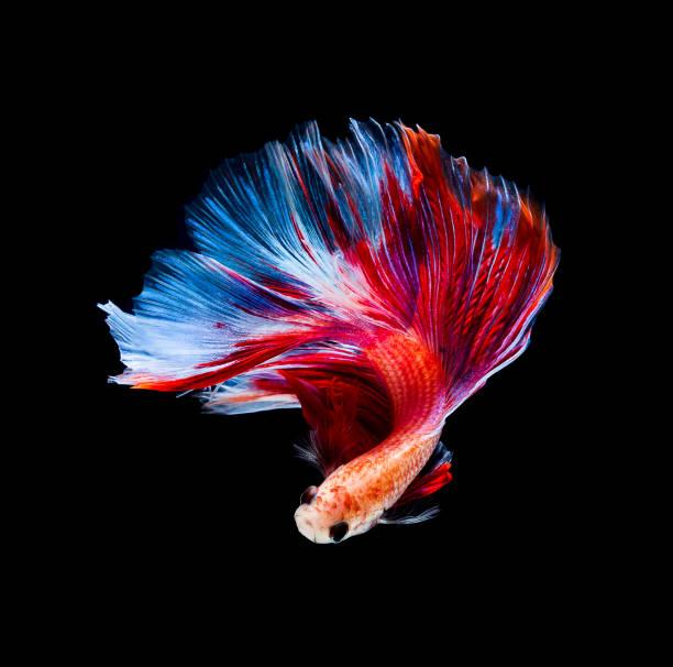 Betta fish siamese fighting fish betta splendens isolated on black background stock photo