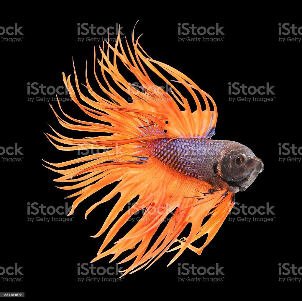 Betta Fish Siamese Fighting Fish Betta Splendens Stock Photo & More ...
