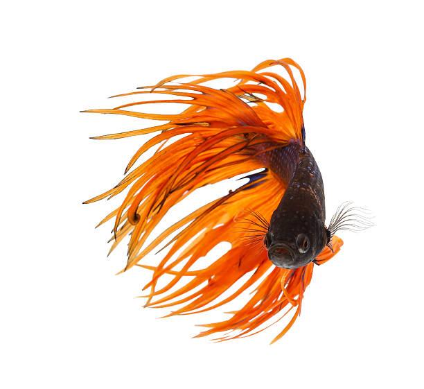 Betta fish, siamese fighting fish, betta splendens (Crown Tail) stock photo