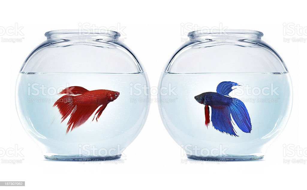 betta fishes royalty-free stock photo