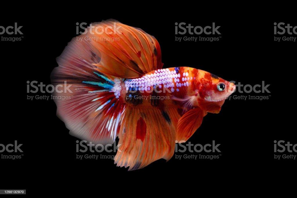 Betta Koi Nemo Candy Halfmoon Hm Male Or Plakat Fighting Fish Splendens On Black Background Stock Photo Download Image Now Istock