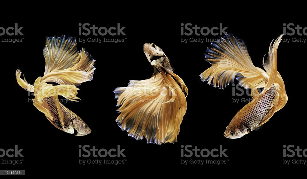 betta or siamese fighting fish isolated on black stock photo