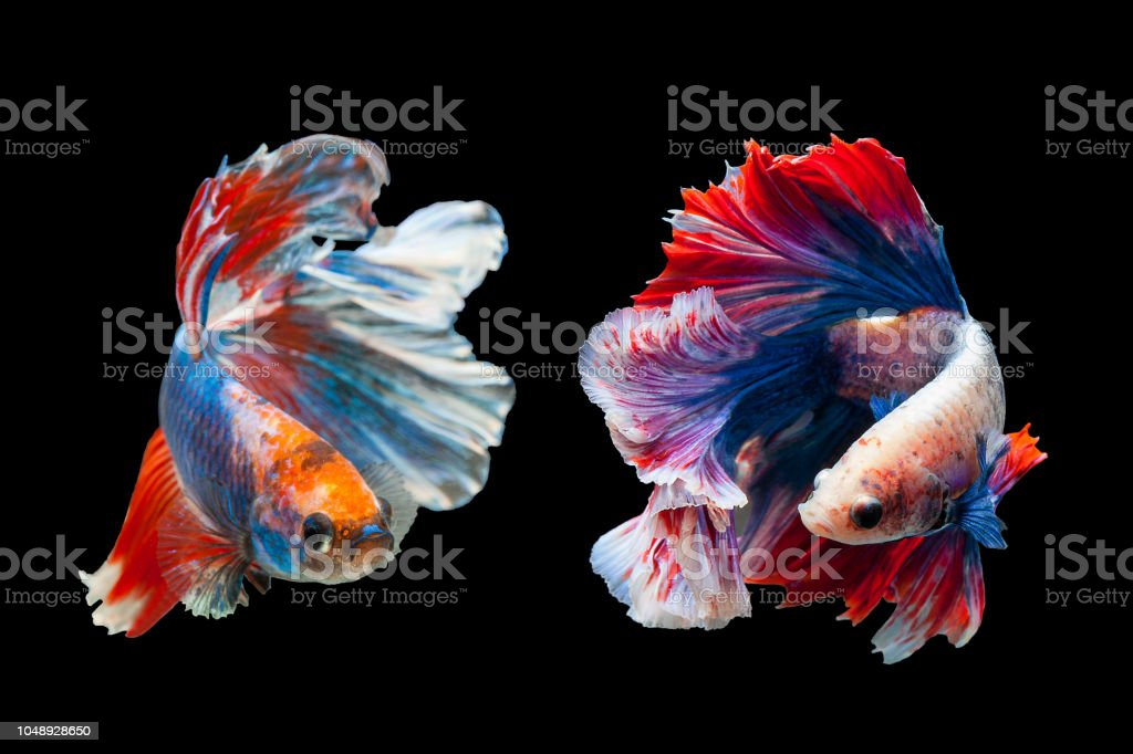 Betta Siamese Fighting Fish Betta Splendens Plakad Biting Fish