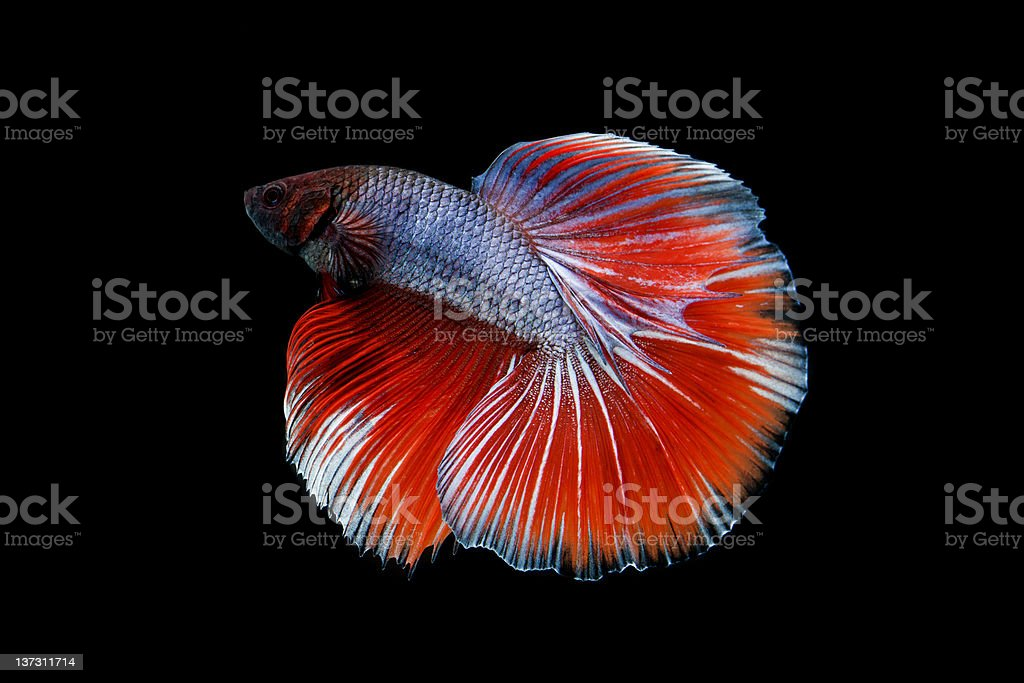 Betta Splendens fish royalty-free stock photo